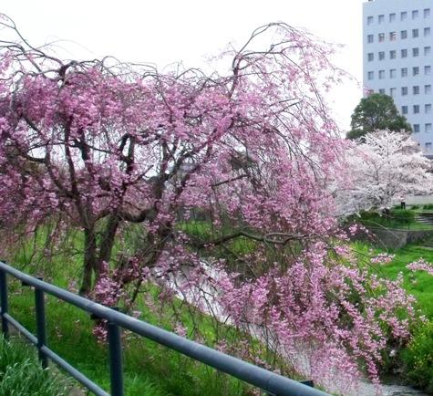 画像ー295 2015年茂原の桜・豊田川 073-5