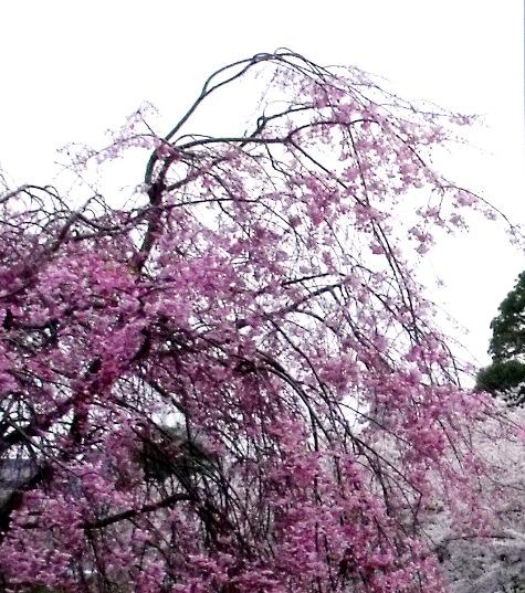 画像ー295 2015年茂原の桜・豊田川 073-7