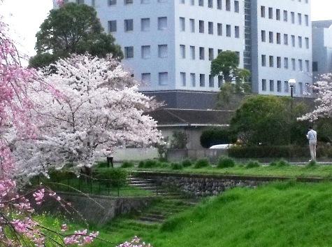 画像ー295 2015年茂原の桜・豊田川 073-9