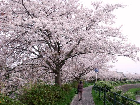 画像ー295 2015年茂原の桜・豊田川 020-2