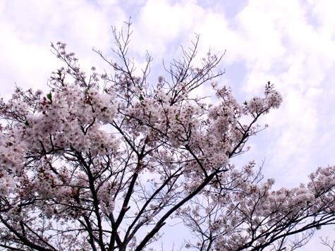 画像ー295 2015年茂原の桜・豊田川 016-2