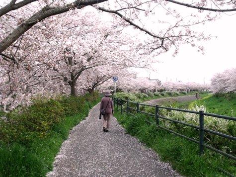画像ー295 2015年茂原の桜・豊田川 018-2