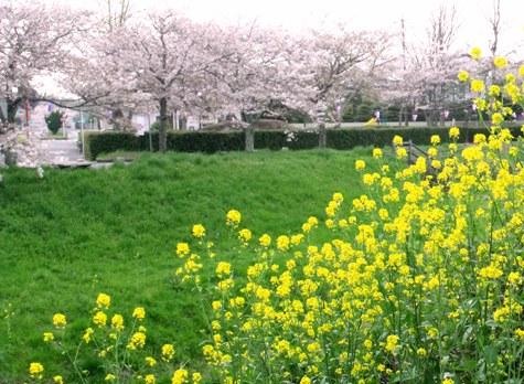 画像ー295 2015年茂原の桜・豊田川 019-3