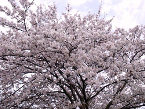 画像ー295 2015年茂原の桜・豊田川 021-2