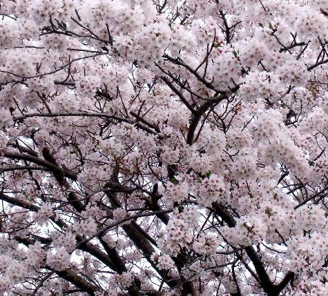 画像ー295 2015年茂原の桜・豊田川 021-3