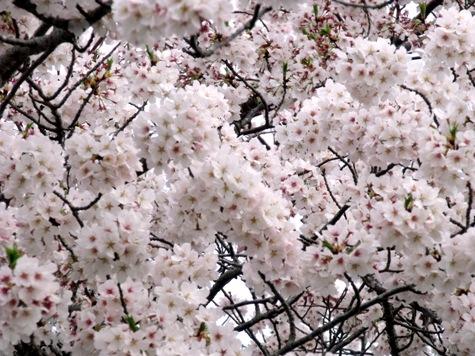 画像ー295 2015年茂原の桜・豊田川 022-2