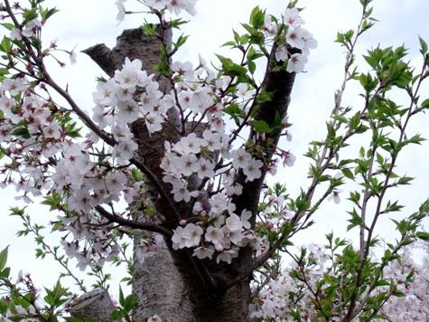 画像ー295 2015年茂原の桜・豊田川 031-2