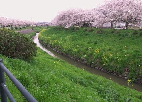 画像ー295 2015年茂原の桜・豊田川 029-2