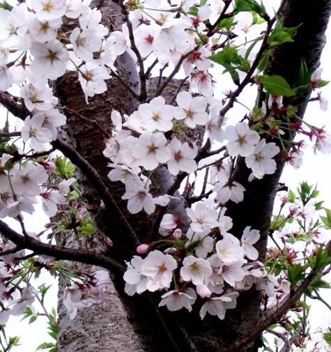 画像ー295 2015年茂原の桜・豊田川 031-3