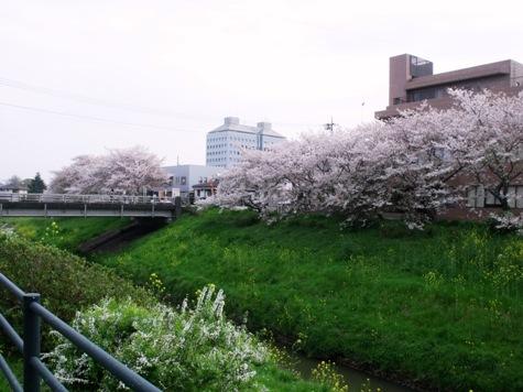 画像ー295 2015年茂原の桜・豊田川 055-2