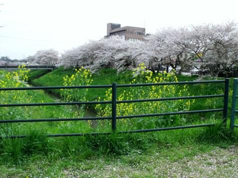 画像ー295 2015年茂原の桜・豊田川 052-2