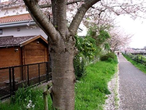 画像ー295 2015年茂原の桜・豊田川 053-2