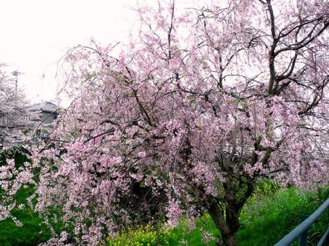 画像ー295 2015年茂原の桜・豊田川 060-2