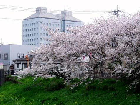 画像ー295 2015年茂原の桜・豊田川 056-2