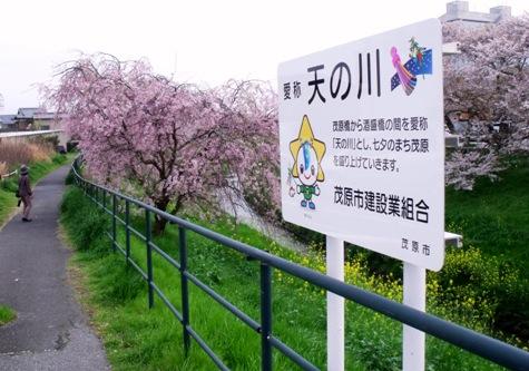 画像ー295 2015年茂原の桜・豊田川 057-2
