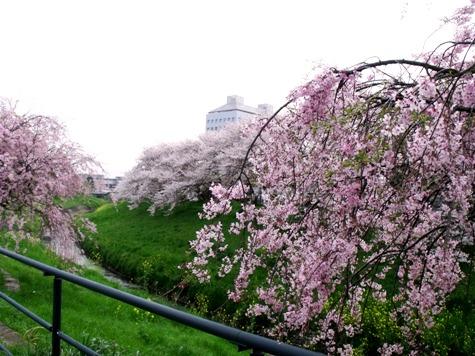 画像ー295 2015年茂原の桜・豊田川 059-2