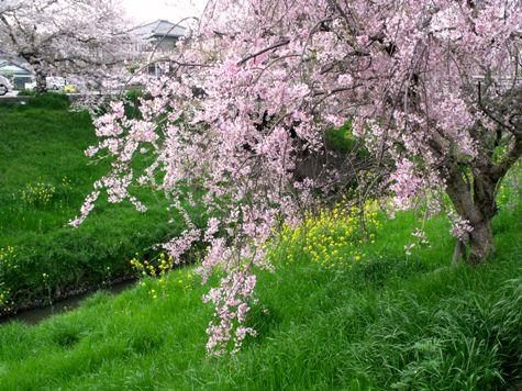 画像ー295 2015年茂原の桜・豊田川 061-2