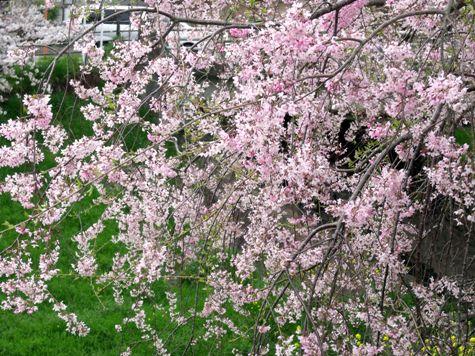 画像ー295 2015年茂原の桜・豊田川 062-2