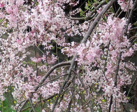 画像ー295 2015年茂原の桜・豊田川 062-3