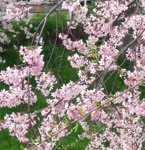 画像ー295 2015年茂原の桜・豊田川 062-4