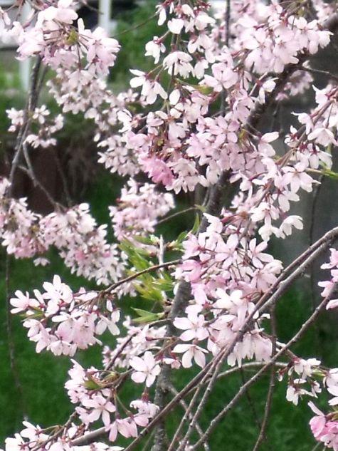 画像ー295 2015年茂原の桜・豊田川 062-5