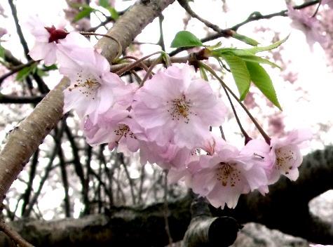 画像ー295 2015年茂原の桜・豊田川 068-4