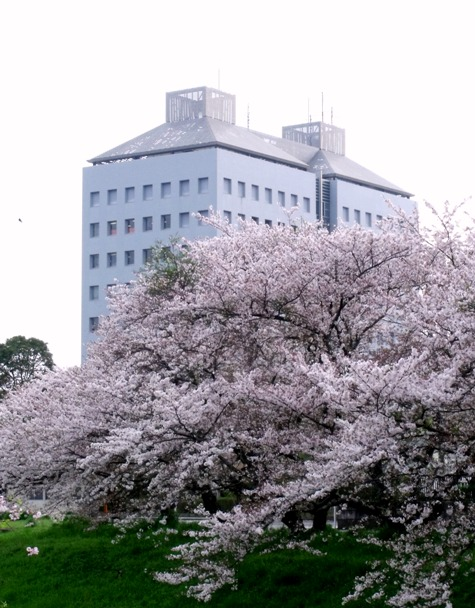 画像ー295 2015年茂原の桜・豊田川 066-3