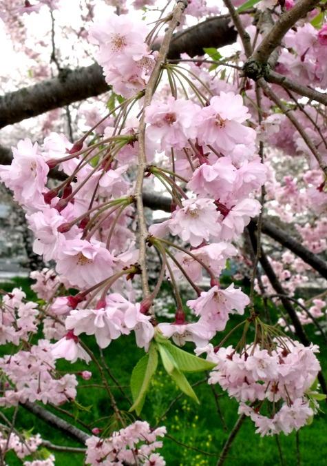 画像ー295 2015年茂原の桜・豊田川 068-3