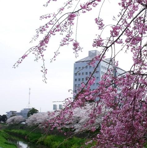 画像ー295 2015年茂原の桜・豊田川 078-3