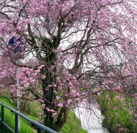 画像ー295 2015年茂原の桜・豊田川 072-3