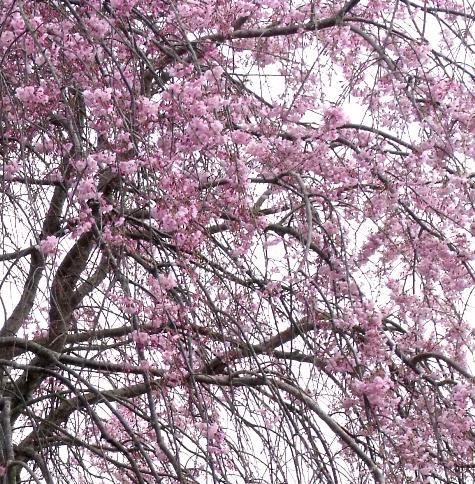 画像ー295 2015年茂原の桜・豊田川 072-4