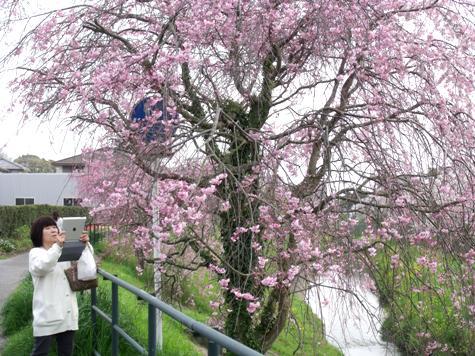 画像ー295 2015年茂原の桜・豊田川 072-2