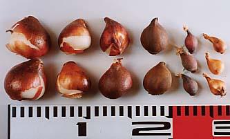 tulipa-bulb球根