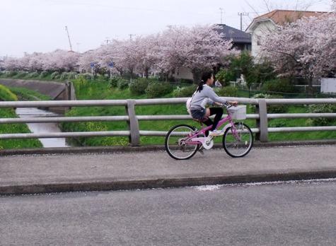 画像ー295 2015年茂原の桜・豊田川 163-5