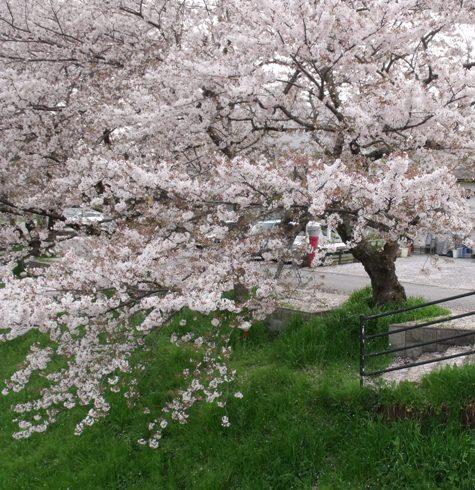 画像ー295 2015年茂原の桜・豊田川 162-3