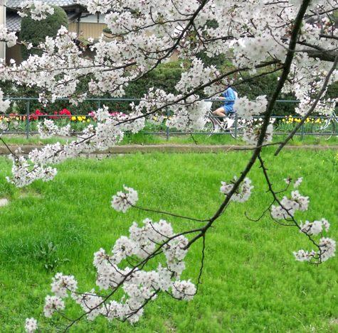画像ー295 2015年茂原の桜・豊田川 138-2