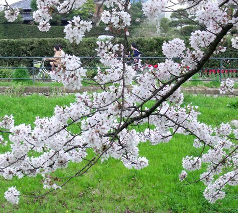 画像ー295 2015年茂原の桜・豊田川 139-2
