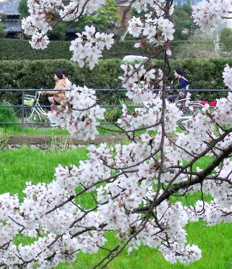 画像ー295 2015年茂原の桜・豊田川 139-3