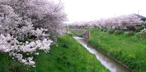 画像ー295 2015年茂原の桜・豊田川 165-2