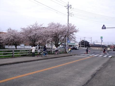 画像ー295 2015年茂原の桜・豊田川 164-2