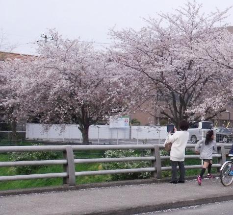 画像ー295 2015年茂原の桜・豊田川 164-4