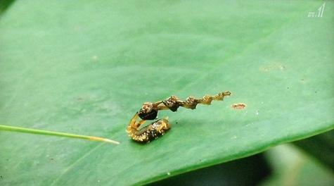 画像ー297 面白昆虫と山岳地帯料理 095-2