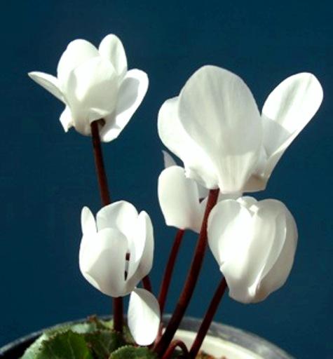 シクラメンの花-2