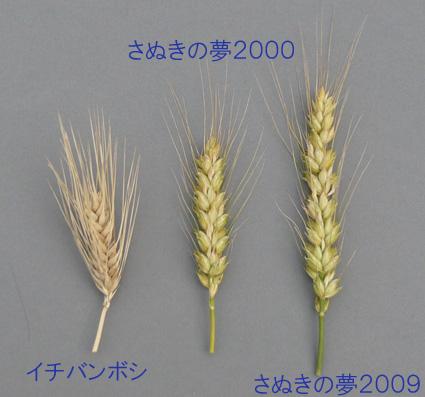 f285_2大麦と小麦