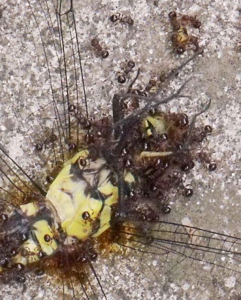 20150610 小川と蟻トンボ 003-4