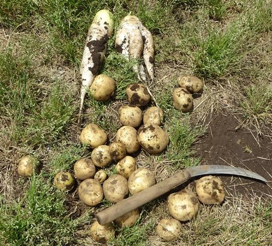 収穫したジャガイモと夏大根