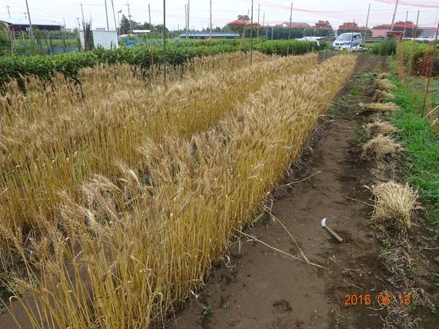 麦の収穫1