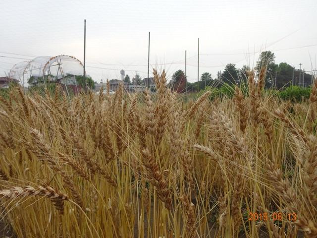 麦の収穫3