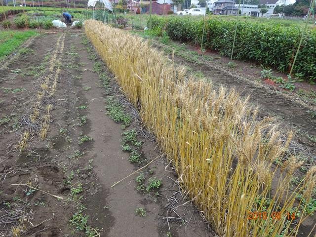 種用の麦と刈り取った跡