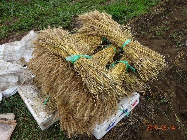 刈り取った麦を積み上げたところ